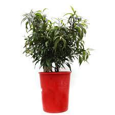 sweet viburnum 200mm pot viburnum callistemon salignus u0027great balls of fire u0027 20cm 200mm