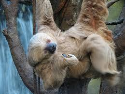 4 toed sloth two toed sloth fact sheet