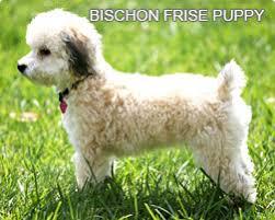 bichon frise intelligence bichon frise a complete guide to bichon frise dogs