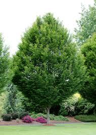 pyramidal european hornbeam an attractive columnar tree with
