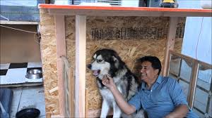dad built a house for his dog alaskan malamute