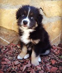 australian shepherd 500 this is kronos he u0027s a 7 week old australian shepherd and i love