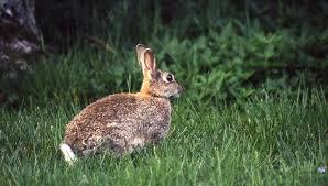 cuisiner un lapin de garenne lapin tourte de garenne aux chignons chassons