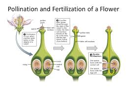 Reproduction In Flowering Plants - plant reproduction revision cards in igcse biology