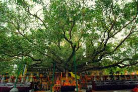 somewhere in dhamma the sri maha bodhi the buddha s bodhi tree