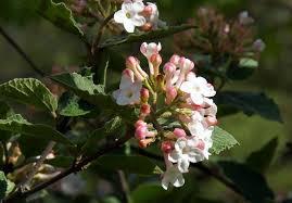 Pink Spring Flowering Shrubs - 14 best flowering shrubs garden design