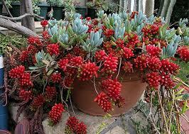 1414 best aeonium y sedum images on pinterest succulents