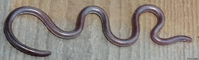 Blind Snake Hawaii Southwestern Threadsnake Rena Humilis Humilis