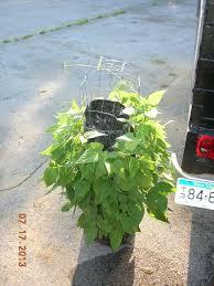 how to grow a vertical lima u0026 green bean vegetable garden with