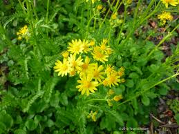 north texas native plants golden groundsel my gardener says u2026 page 3