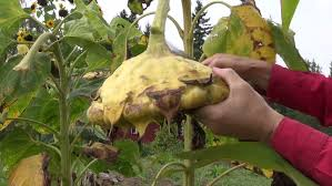 A Root Vegetable - the cultivation of sugar beet agronomist holding a root vegetable