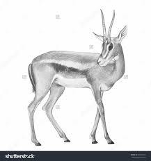 baby deer pencil sketch images deer pencil drawing u2013 acaz