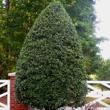 Backyard Privacy Trees Privacy Trees For Sale Nature Hills Nursery