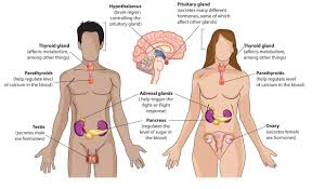 Male And Female Anatomy Differences What Body System Is The Pancreas A Part Of Socratic