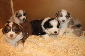 rocking m australian shepherds leisa nelson pet stores 16207 309th ave ne duvall wa phone