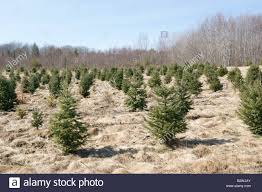 100 christmas tree farms little hiccups christmas tree farm