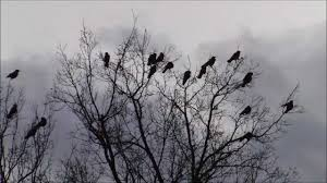 a lot of carrion crows arriving at their tree
