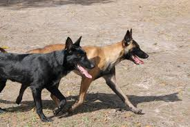 belgian shepherd kennels akc black belgian malinois stud for sale in hoobly classifieds