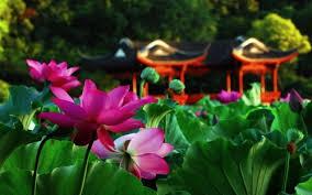 Flower Gardens Wallpapers - lotus flower garden wallpaper