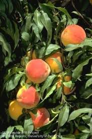 Backyard Fruit Trees Growing Your Backyard Orchard Ucce Master Gardeners Of San