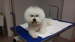 bichon frise 17 years old 17 reason the bichon frise is the best dog breed