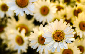 yellow daisy wallpapers flowers marguerites oxeye daisies wallpaper of flowers beauty