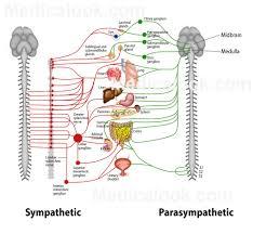 Nervous System Human Anatomy Dual Innervation Human Anatomy Organs