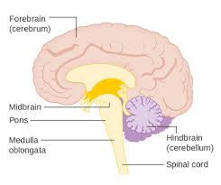 Pyramids Of The Medulla Difference Between Pons And Medulla Difference Between