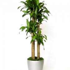 large braided money tree indoor office plants by free standing