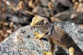 in the desert lizard lizards reptiles gila monster chuckwalla
