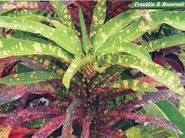franklin roosevelt palmpedia palm grower u0027s guide