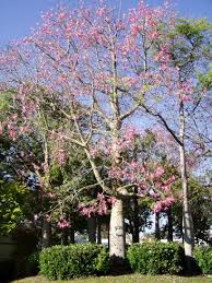 tree with pink flowers san diego plant pictures