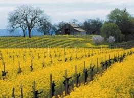 napa valley ground mustard the magic of mustard in the vineyards sonoma county official site