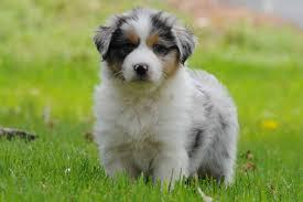 australian shepherd puppy australian shepherd breeders in the united states