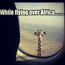 Meme Giraffe - i can has cheezburger giraffes funny animals online cheezburger