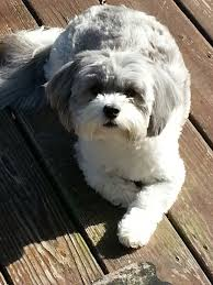 shih poo haircuts shih poo looks like my sweet dog i dogs puppies