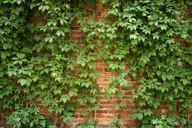 Tree Climbing Plants Red Old Brick Wall With Climbing Plants Background Photo Stock