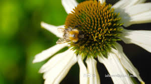 Echinacea Flower Bumblebee On A Echinacea Flower Youtube