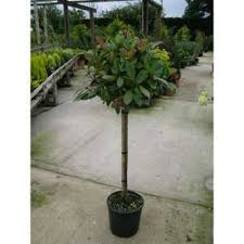 Topiary Plants Online - buy photinia topiary plants online topiary plants for sale