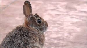 wild brown rabbit in our backyard youtube