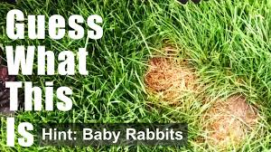 what to do if you see a rabbits nest on your front lawn youtube