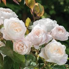 roses online shop online