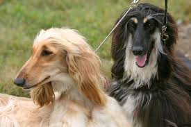 afghan hound club of st louis dog lovers come to shelton connecticut post