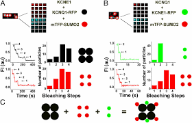 modification si e social association sumoylation determines the voltage required to activate cardiac iks