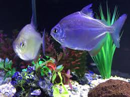 how to determine the of fish for breeding purposes
