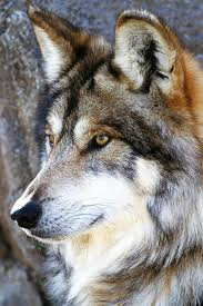 80 best the wolf images on pinterest wild animals wolf growling