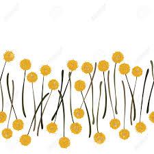 billy balls billy balls craspedia beautiful yellow flowers on white