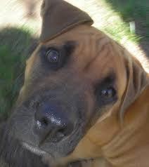 adorable pit bull boxer mix pup say u201chi u201d to reddit toby pets