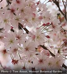 7 best trees images on chief dogwood trees