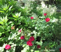 white persicaria and red roses journal garden design montreal